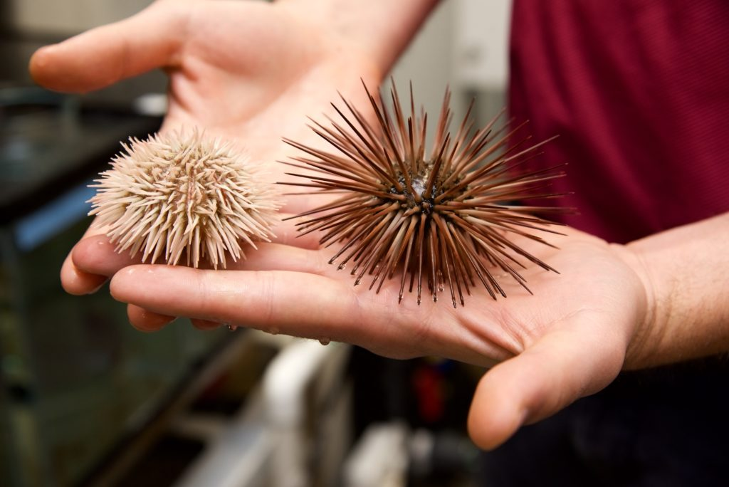 sea urchins in hand